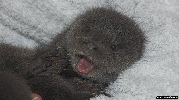 Filhote de lontra órfão é resgatado na Escócia