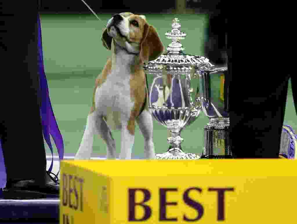"""18.fev.2015 - A beagle Miss P foi a vencedora da competição anual de cachorros Westminster Kennel Club Dog Shows, realizada em Nova York. Para o juiz do concurso, Miss P superou os rivais devido ao seu """"tipo maravilhoso"""" e a sua """"maravilhosa cabeça"""". O desfile da cadela pelo chão acarpetado do Madison Square Garden conquistou o responsável por apontar o campeão e garantiu a Miss P o título de melhor cachorro dos EUA. No concurso, que é realizado desde 1887 e do qual só participam cachorros de raça, os animais são julgados de acordo com a maior proximidade que possuem do tipo puro de suas raças - Mike Segar/Reuters"""