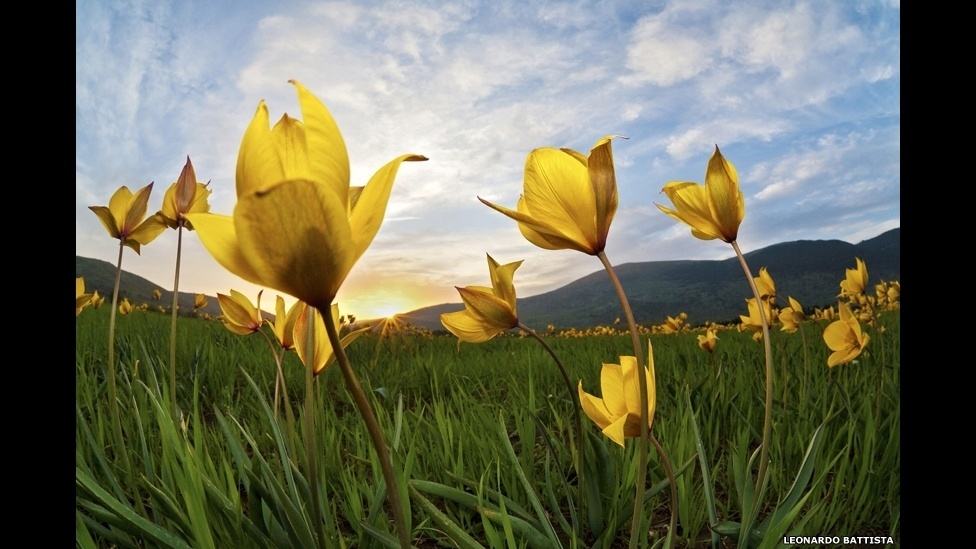 Vistas de cima, as tulipas silvestres fotografadas por Leonardo Battista poderiam passar despercebidas. Mas com o uso de uma grande angular perto do solo, a cena ganha em drama e energia