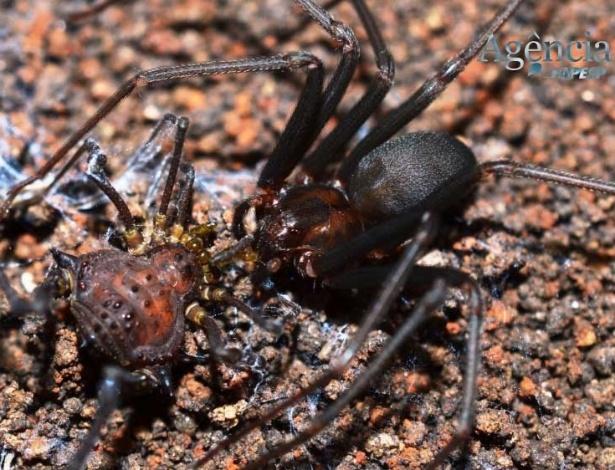Aranha-marrom (à dir.) percebe regiões vulneráveis do corpo do opilião para matá-lo e devorá-lo, aponta estudo - Hirata Willemart