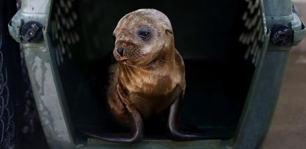 Leões marinhos estão aparecendo doentes ou mortos em praias californianas - Justin Sullivan/Getty Images/AFP
