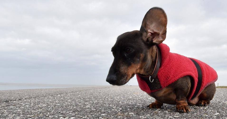 25.fev.2015 - Forte vento levanta orelha do do pequeno cão da raça dachshund, também conhecido como Salsicha, no norte da Alemanha