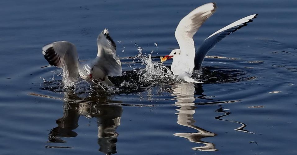 26.fev.2015 - Gaivotas competem por comida no estuário do rio Xinkai na cidade de Qinhuangdao, província de Hebei, norte da China nesta quinta-feira (26). Com o aumento da temperatura, o gelo começou a derreter e um grande número de gaivotas vêm para a região