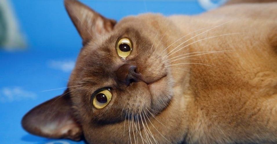 27.fev.2015 - Gato burmês está presente na 156ª Exposição Internacional de Gatos, organizada pelo CBG - Clube Brasileiro do Gato, que recebe neste ano 24 raças diferentes em um total de 270 animais. O evento acontece neste final de semana, no Club Homs, na avenida Paulista