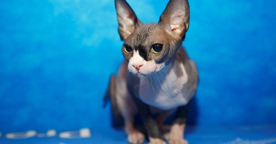 27.fev.2015 - Gato cornish rex gato está presente na 156ª Exposição Internacional de Gatos, organizada pelo CBG - Clube Brasileiro do Gato, que recebe neste ano 24 raças diferentes em um total de 270 animais. O evento acontece neste final de semana, no Club Homs, na avenida Paulista
