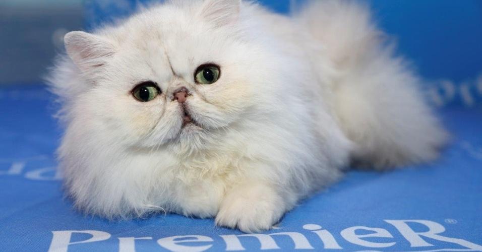 27.fev.2015 - Bebê persa em feira que reúne 270 gatos a partir deste sábado (28). O evento é realizado pelo CBG - Clube Brasileiro do Gato e recebe neste ano 24 raças diferentes de gatos, além dos vira-latas. Vai até 1º de março, no Club Homs, na avenida Paulista