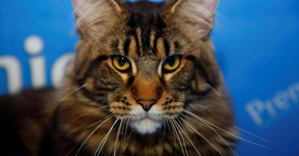 27.fev.2015 - Olhar penetrante do gato maine coon, presente na 156ª Exposição Internacional de Gatos, organizada pelo CBG - Clube Brasileiro do Gato, que recebe neste ano 24 raças diferentes em um total de 270 animais. O evento acontece neste final de semana, no Club Homs, na avenida Paulista
