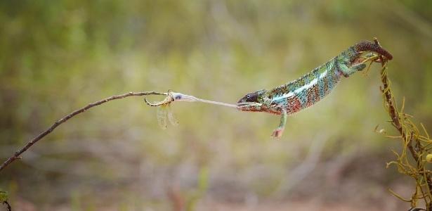 Camaleão-pantera pega uma libélula