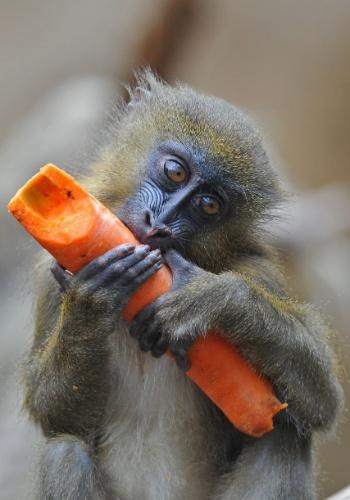 16.mar.2015 - Um filhote de macaco mandril se diverte com uma cenoura no zoológico de Dresden, na Alemanha
