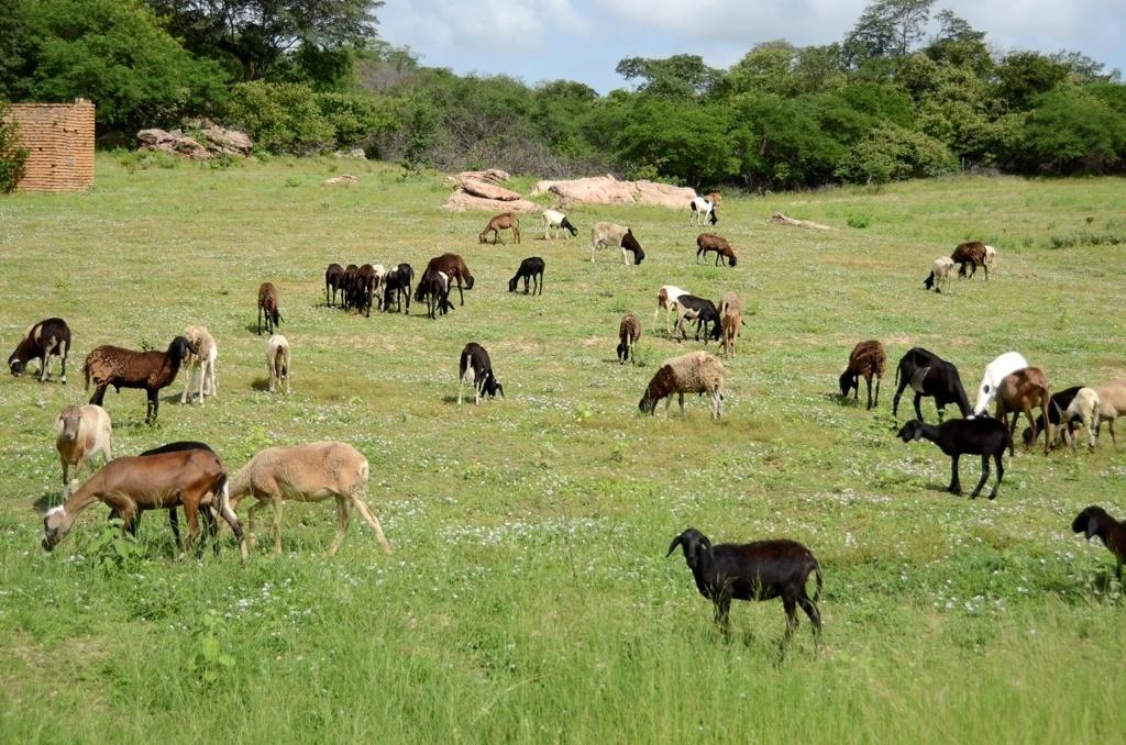 25.mar.2015 - Com o terreno molhado com a ajuda da 'barragem subterrânea', seu Gomes consegue plantar pasto para alimentar a criação de caprinos e ovinos