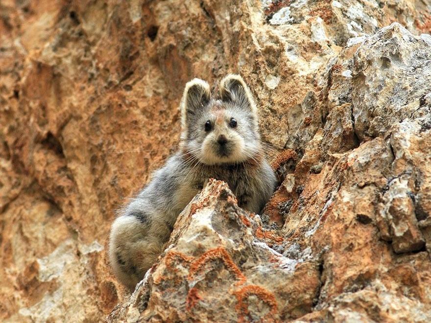 25.mar.2015 - O coelho Ili Pika, uma das criaturas mais raras do mundo, foi visto pela primeira vez em 20 anos, em montanhas chinesas