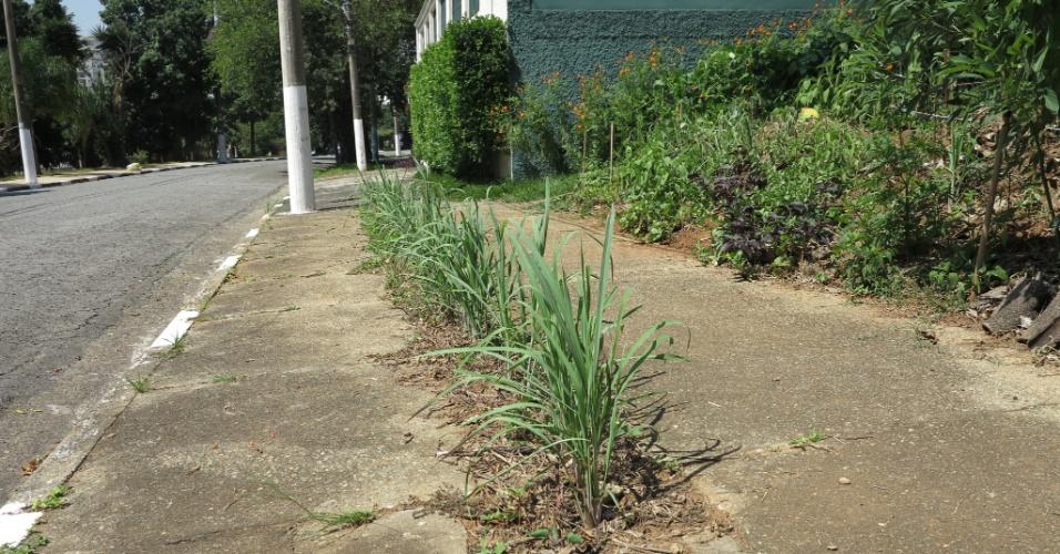 27.mar.2015 - Mudas de capim santo foram plantadas na fenda que estava aberta na calçada ao lado da horta. A subprefeitura da Lapa promete reformar a calçada