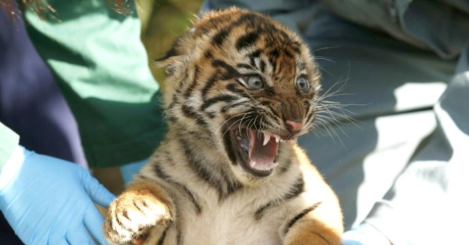 27.mar.2015 - Filhote de tigre-de-sumatra, de 12 semanas de idade, rosna durante um exame de rotina em sua jaula no zoológico de Chester, no norte da Inglaterra. O filhote é um dos três que nasceu no local