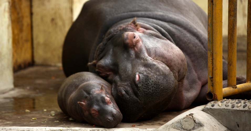 31.mar.2015 - Filhote de hipopótamo de apenas um mês de idade descansa ao lado da mãe em zoológico de Jinan, capital da província de Shandong , no leste da China. O hipopótamo, que ao nascer pesa entre 30 kg e 40 kg, pode chegar facilmente a 3 toneladas na fase adulta