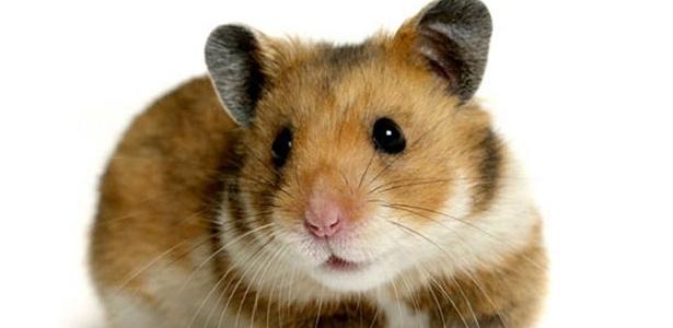 Homem não gostou que a ex estava dando comida demais pro hamster que era dele