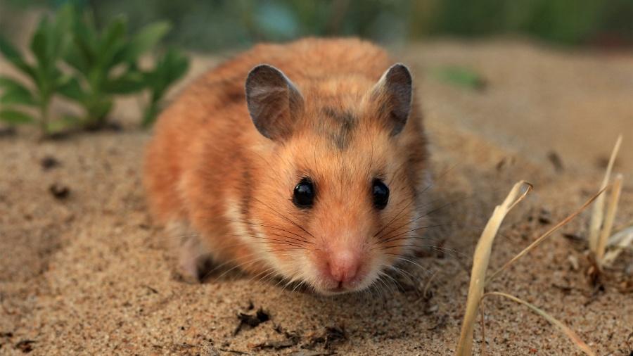Instituto Pasteur da França fez testes com ivermectina em hamsters sírios (também conhecidos como hamsters dourados) - Reprodução