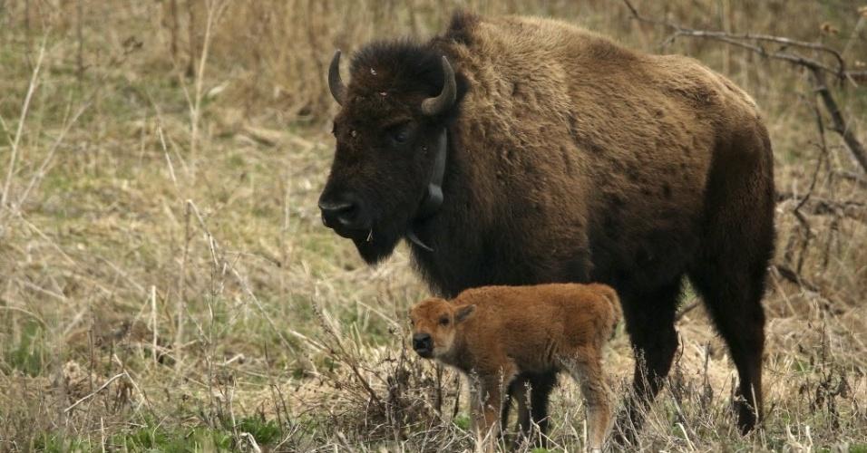 9.abr.2015 - Uma fêmea de bisão-americano americano passeia com seu filhote no centro de conservação da natureza Nachusa Grasslands, em Franklin Grove, Illinois (EUA). O nascimento do filhote foi uma surpresa, o bisão é o primeiro a nascer em Illinois em cerca de 200 anos