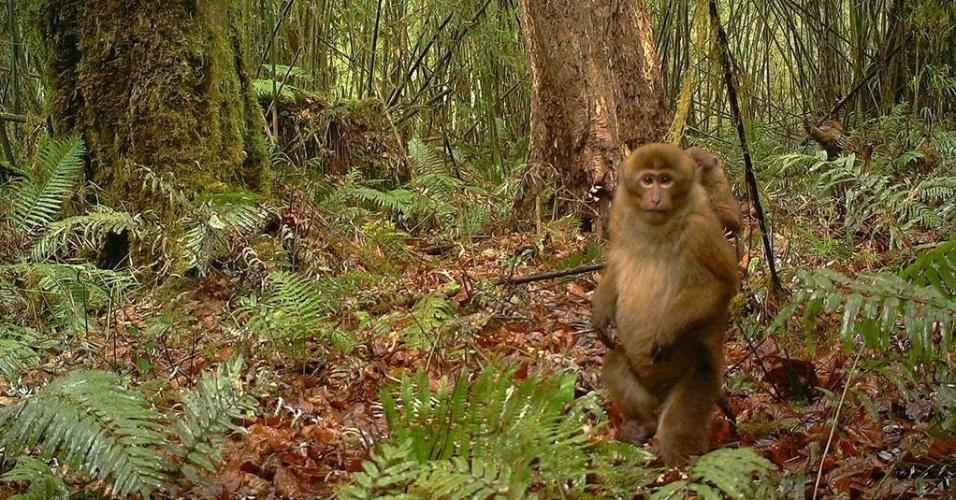 13.abr.2015 - Nova espécie de macaco é descoberta no sudeste do Tibete: o Macaca leucogenys vive nas florestas do estado de Modog. De acordo com os pesquisadores, ele havia sido confundido com outra espécie, mas fotos revelaram diferenças no pênis do animal