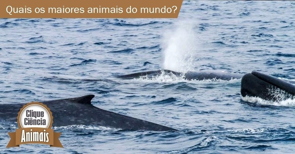 Clique Ciência: quais são os maiores animais do mundo?