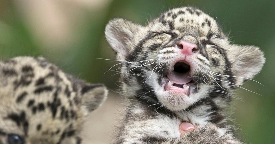 16.abr.2015 - Filhotes de pantera nebulosa nascidos no início de março são apresentados ao público no zoológico Olmense, na cidade de Olmen, na Bélgica. Essa espécie está ameaçada de extinção e, segundo pesquisadores, restam cerca de 10 mil animais na Terra