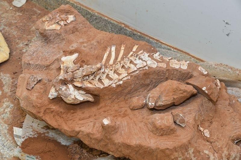 22.abr.2015 - Pesquisadores da Universidade de Brasília (UnB) começam a se debruçar sobre os ossos de um dinossauro que viveu há 70 milhões de anos e foi achado na região de Marília