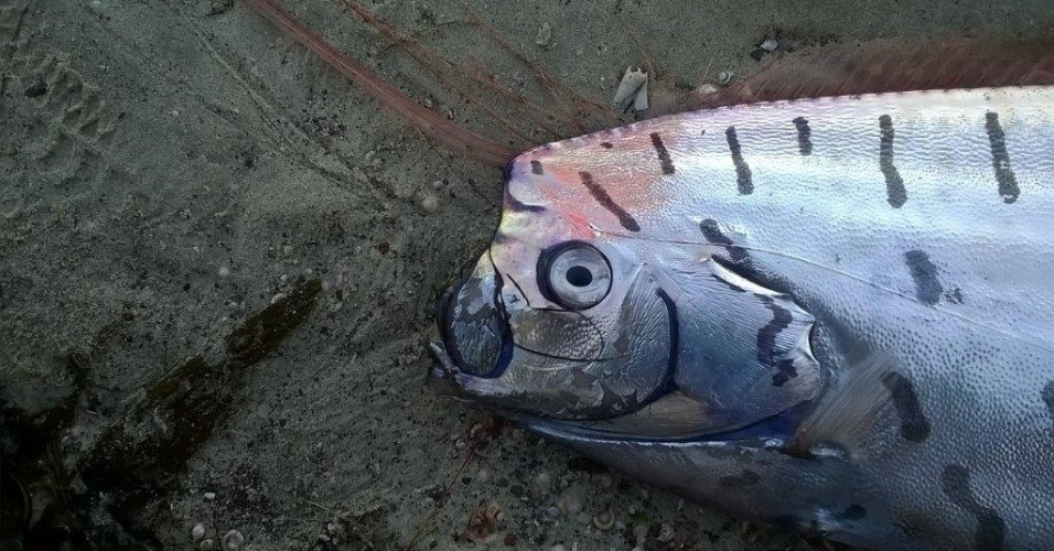 20.abr.2015 - Um peixe-remo, também conhecido como regaleco, de 3 metros de comprimento foi encontrado pelo neozelandês Don Gibbs em Aramoana Spit, perto do Porto de Otago, na Nova Zelândia. A imagem foi feita em 15 de abril e divulgada no dia 20 de abril de 2015