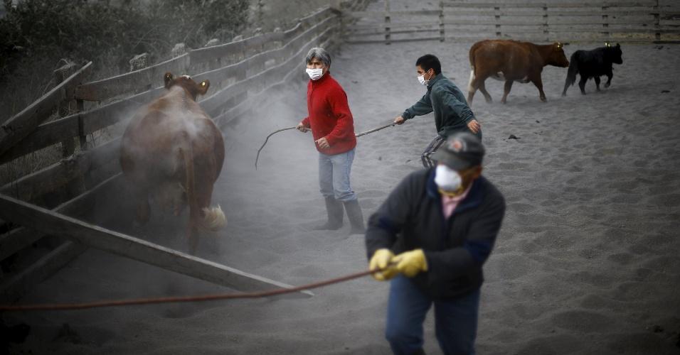 27.abr.2015 - Homens tentam capturar vacas para serem retiradas de Ensenada, região de Los Lagos, no sul do Chile, que está coberta pelas cinzas do vulcão Calbuco, nesta segunda-feira (27)
