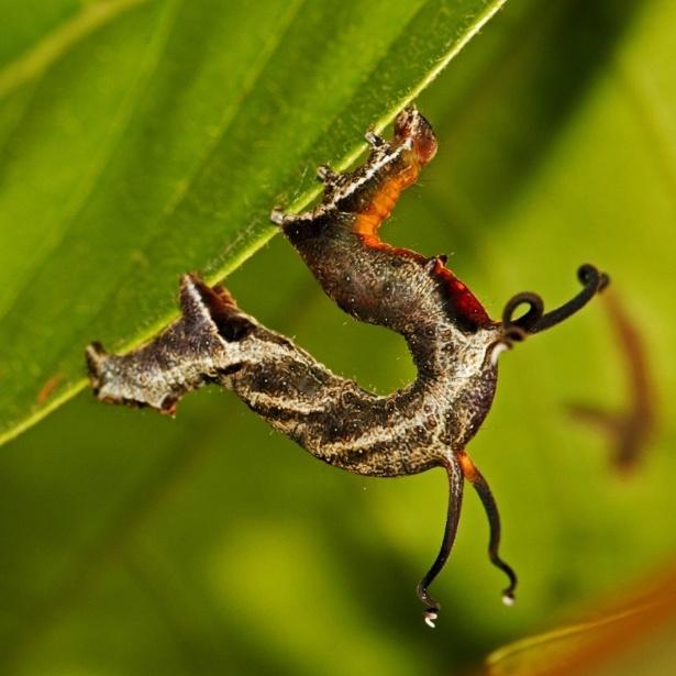 28.abr.2015 - O entomologista Aaron Pomerantz flagrou uma espécie diferente de taturana durante sua expedição à Amazônia peruana. Inicialmente, ele achou que o animal era um galho, mas então notou que os filamentos da taturana se movem como tentáculos. Ele não conseguiu identificar a espécie, mas acredita que pertença à família das mariposas Geometridae. O animal foi avistado e documentado próximo ao Centro de Pesquisa Tambopata, no sudeste do Peru