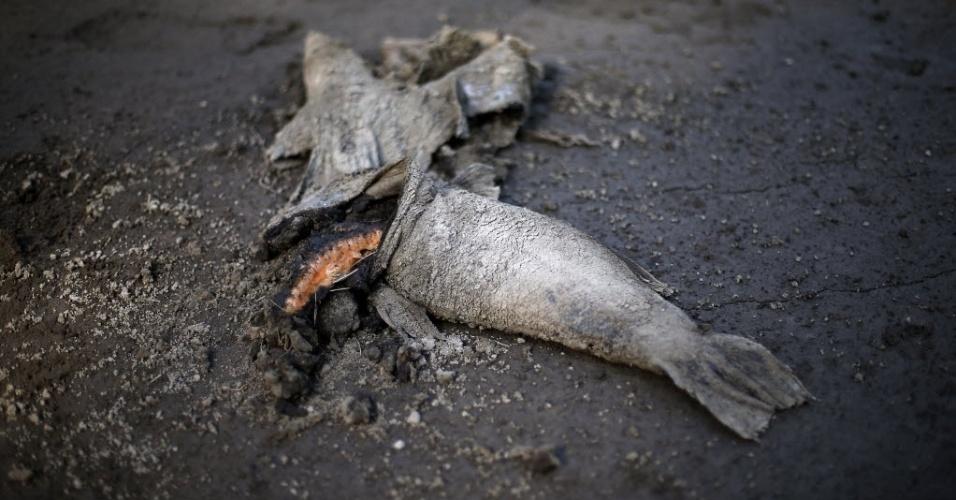 28.abr.2015 - Um salmão aparece morto às margens do rio Sul, após a erupção do vulcão Calbuco, nesta terça-feira (28), em Colonia Río Sur, na região de Los lagos, no sul do Chile