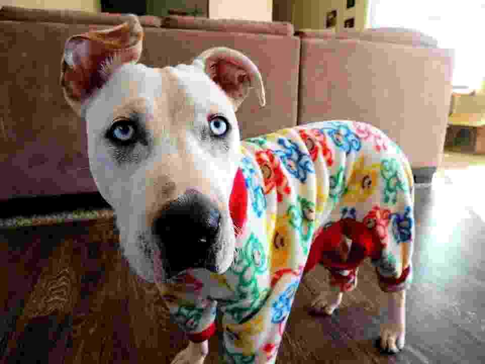 A canadense Stephanie Karr criou uma fábrica caseira de pijamas para cachorros. - Reprodução/Facebook