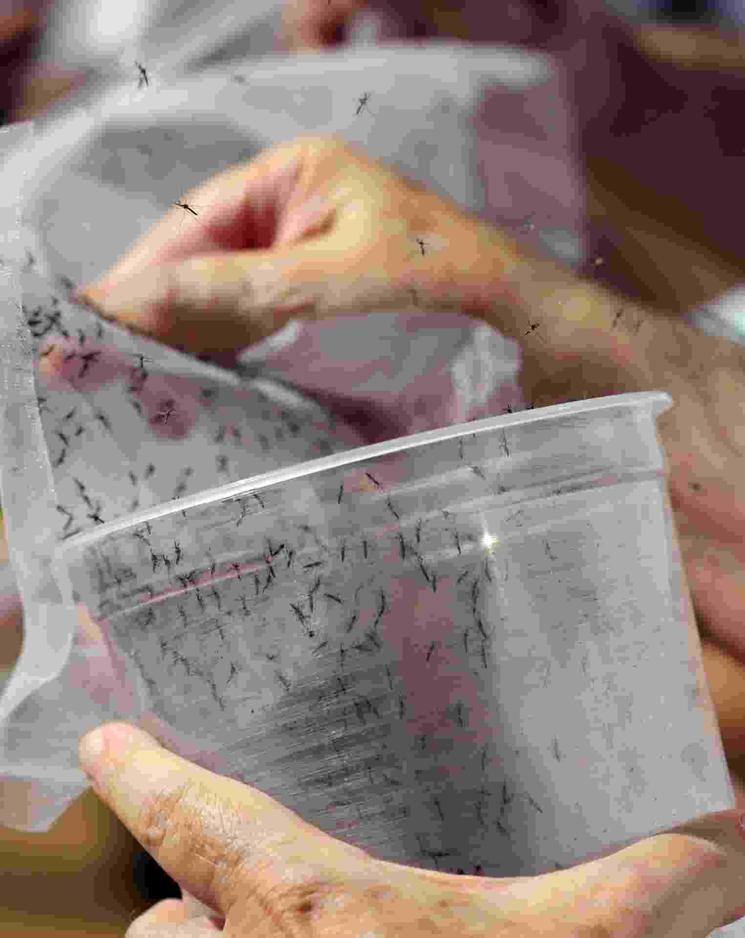 30.abr.2015 - Funcionários liberam mosquitos Aedes aegypti geneticamente modificados em Piracicaba, interior de São Paulo, nesta quinta-feira (30). A empresa britânica de biotecnologia Oxitec criou em seu laboratório machos geneticamente modificados do mosquito transmissor da dengue, com um gene que não permite a reprodução. O Brasil já soma mais de 460 mil casos da doença este ano, de acordo com o Ministério da Saúde - Paulo Whitaker/Reuters