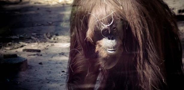 A orangotango Sandra é observada em sua jaula no zoológico de Buenos Aires