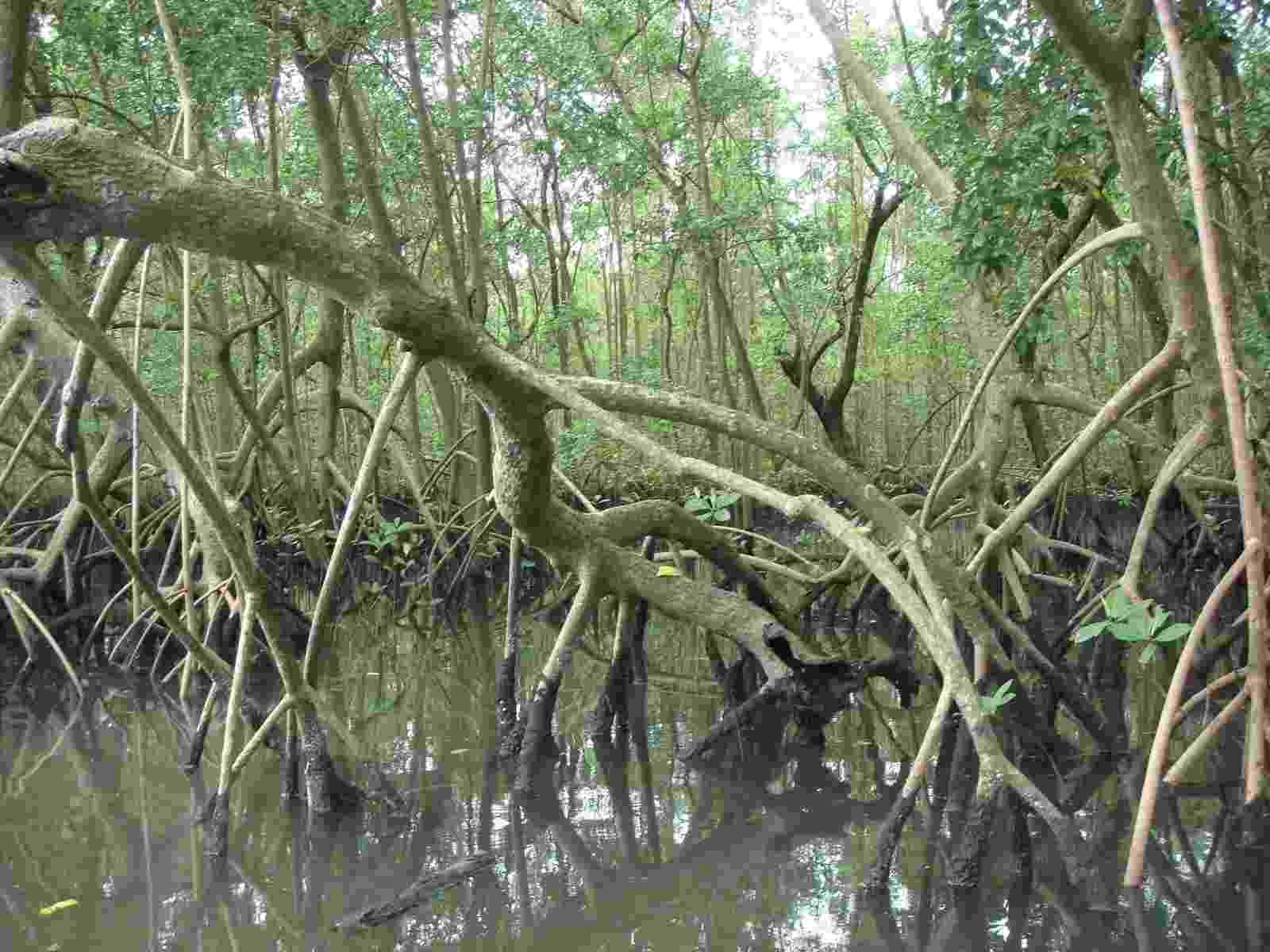 13.mai.2015 - Os manguezais da Baixada Santista podem ser a chave para impedir a manifestação de doenças neurodegenerativas, como o mal de Parkinson e o Alzheimer, além de tumores - Divulgação
