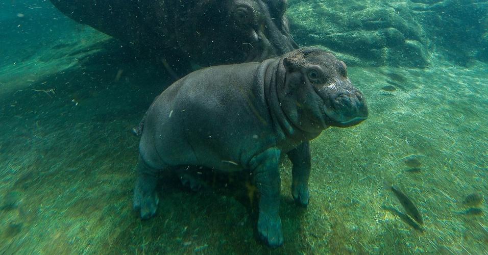 14.mai.2015 - Após quase dois meses de espera, a equipe responsável pelos animais do zoológico de San Diego (EUA) conseguiu determinar o sexo do filhote de hipopótamo nascido em 23 de março. Devi é uma fêmea. Como a mãe é muito protetora os especialistas tiveram dificuldade de se aproximar do filhote