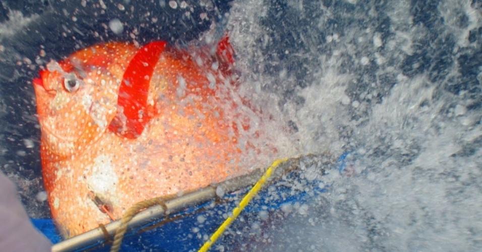 14.mai.2015 - Um peixe da espécie opah é solto com sensores de temperatura que o monitorarão enquanto mergulha. A imagem foi divulgada nesta quinta-feira (14) pelo Centro de Ciências da Pesca do Sudoeste, pertencente à NOAA (Administração Nacional Atmosférica e Oceânica, na sigla em inglês). A nova pesquisa do NOAA revelou que, assim como os mamíferos e aves, o opah é um animal de sangue quente, o que dá à espécie uma vantagem competitiva nas profundezas congelantes dos oceanos