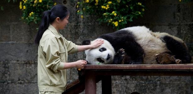 Panda gigante Basi, 35, ganha um cafuné após a refeição em um centro de pesquisa em Fuzhou, na China