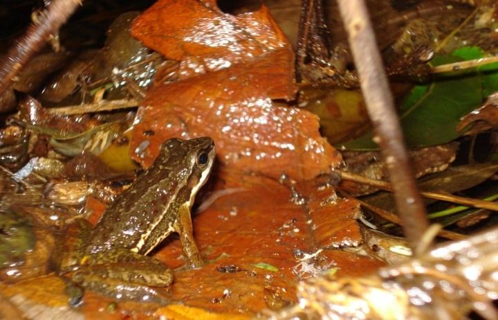 As águas transparentes de riachos da serra do Japi, ao lado de Jundiaí, no interior paulista, acabam de revelar uma nova espécie de perereca: a Hylodes japi, que tem um comportamento reprodutivo bastante peculiar.
