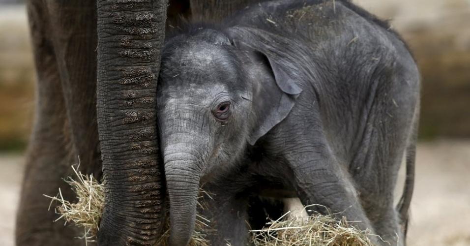 25.mai.2015 - Elefante asiático recém-nascido se aconchega perto da mãe no parque de vida selvagem Pairi Daiza, em Brugelette, Bélgica