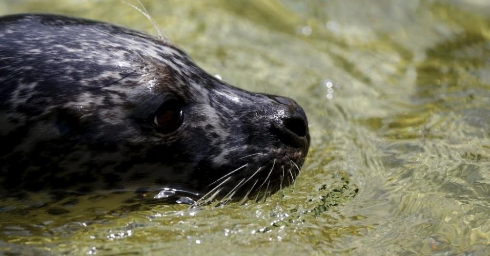 1º.jun.2015 - Foca nada em aquário ao ar livre no jardim zoológico de Antuérpia, na Bélgica