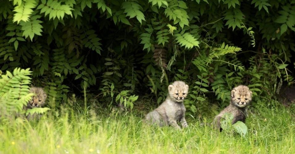 2.jun.2015 - Filhotes de chita são apresentados no zoológico de Muenster, na Alemanha. Sete filhotes nasceram em 28 de abril