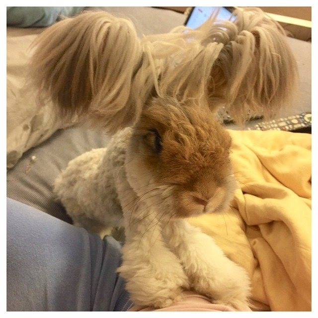 Wally é um coelho de estimação que mora com sua dona Molly em Massachusetts (EUA) e vem fazendo o maior sucesso no Instagram (@wally_and_molly) por causa de suas orelhas peludas e fofas. Ele nasceu em julho de 2014 e apostamos que já tem muito mais seguidores na rede social que você: mais de 50,3 mil