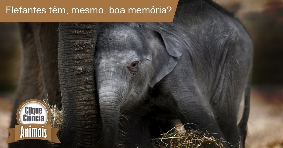 """Eles são os maiores mamíferos que existem na Terra, chegando a pesar sete toneladas. Não é à toa que são lembrados sempre que alguém quer enfatizar que algo é grande. Mas não é (só) por isso que, quando queremos dizer que uma pessoa não se esquece de nada, usamos a expressão  """"memória de elefante"""". Entenda o porquê"""