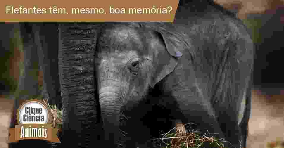 """Eles são os maiores mamíferos que existem na Terra, chegando a pesar sete toneladas. Não é à toa que são lembrados sempre que alguém quer enfatizar que algo é grande. Mas não é (só) por isso que, quando queremos dizer que uma pessoa não se esquece de nada, usamos a expressão  """"memória de elefante"""". Entenda o porquê - Arte UOL"""