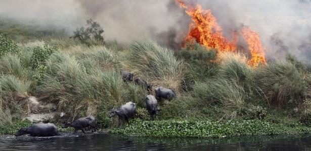 Búfalos fogem de incêndio provocado pelo calor em Nova Déli, capital da Índia
