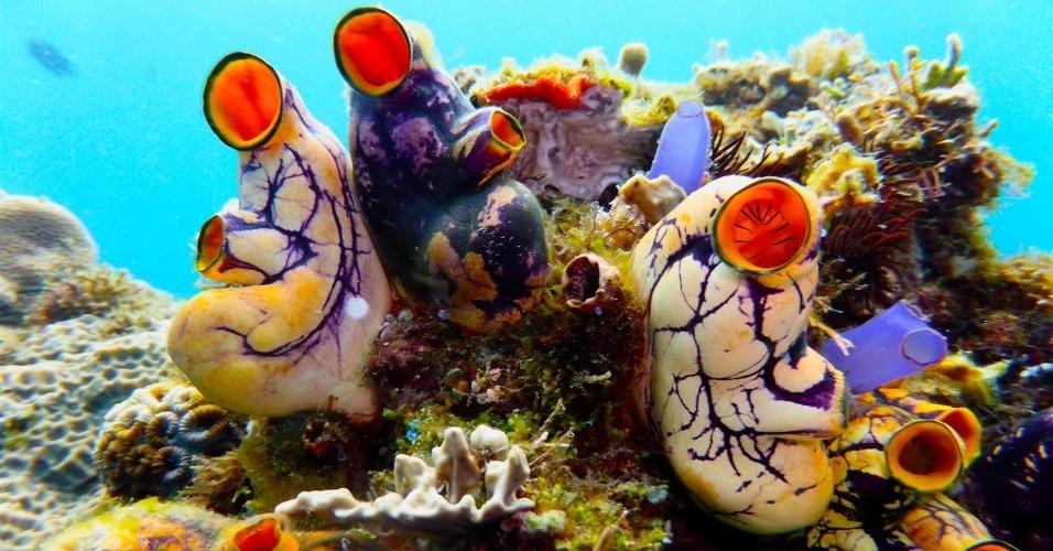 """9.jun.2015 - Cientistas da Academia de Ciências da Califórnia, nos EUA, descobriram mais de 100 espécies de criaturas marinhas em uma área próximo a Puerto Galera, nas Filipinas. Entre as descobertas estão uma nova espécie de lesma-do-mar, um ouriço-do-mar e dezenas de mariscos e moluscos (foto). """"As Filipinas são forradas de espécies diversas e ameaçadas - uma das regiões mais incríveis em termos de biodiversidade na Terra"""", afirmou Terry Gosliner, curador-senior do Zoológico dos Invertebrados na Academia de Ciências da Califórnia. """"Apesar dessa riqueza, a biodiversidade é relativamente desconhecida"""""""