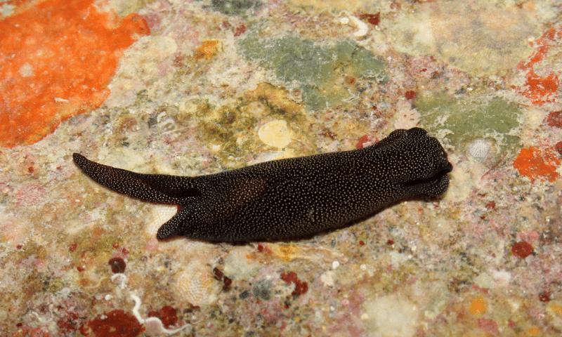 9.jun.2015 - Cientistas da Academia de Ciências da Califórnia, nos EUA, descobriram mais de 100 espécies de criaturas marinhas, incluindo um molusco que os pesquisadores apenas conheciam a estrutura através de um espécime morto. O Chelidonura alexisi (foto), foi avistado na passagem da Ilha Verde, próximo a Puerto Galera, nas Filipinas. Os pesquisadores também encontraram mariscos, uma nova espécie de lesma-do-mar bem colorida e criaturas que habitam as águas profundas próximas aos recifes