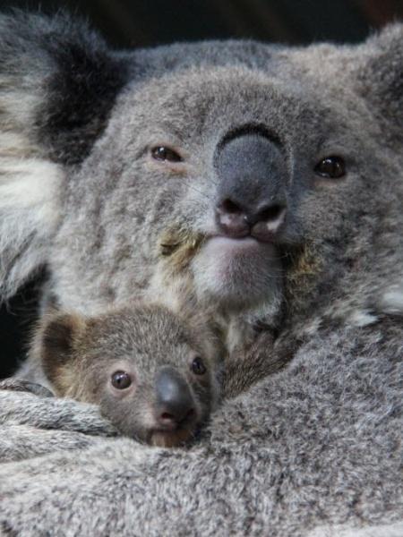 11.jun.2015 - Filhote de coala é envolvido pela mãe no zoológico de Taronga, em Sydney, Austrália - Paul Fahy/Zoológico de Taronga/EFE