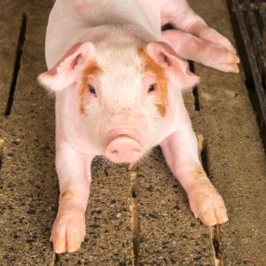 Estudo preliminar conseguiu desativar retrovírus que residem no DNA de porcos e trazem risco de infecção, tornando órgãos compatíveis para uso em humanos - Rakijung/iStock
