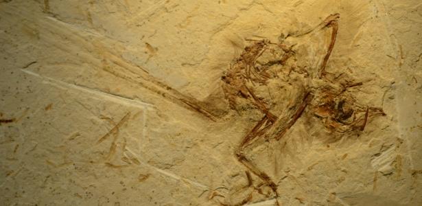 Fóssil muito bem preservado da ave mais antiga do Brasil. Material tem aproximadamente 115 milhões de anos - Divulgação/Nature