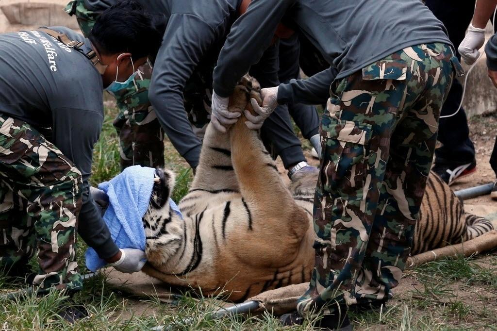 30.mai.2016 - Autoridades retiram três animais do Templo do Tigre, em Bancoc, na Tailândia. O local é acusado de tráfico ilegal de espécies ameaçadas de extinção e maus-tratos de animais. Ativistas acusam o local de drogar os animais